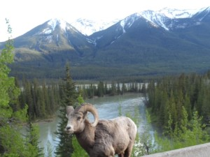 Bighorn Sheep in Banff